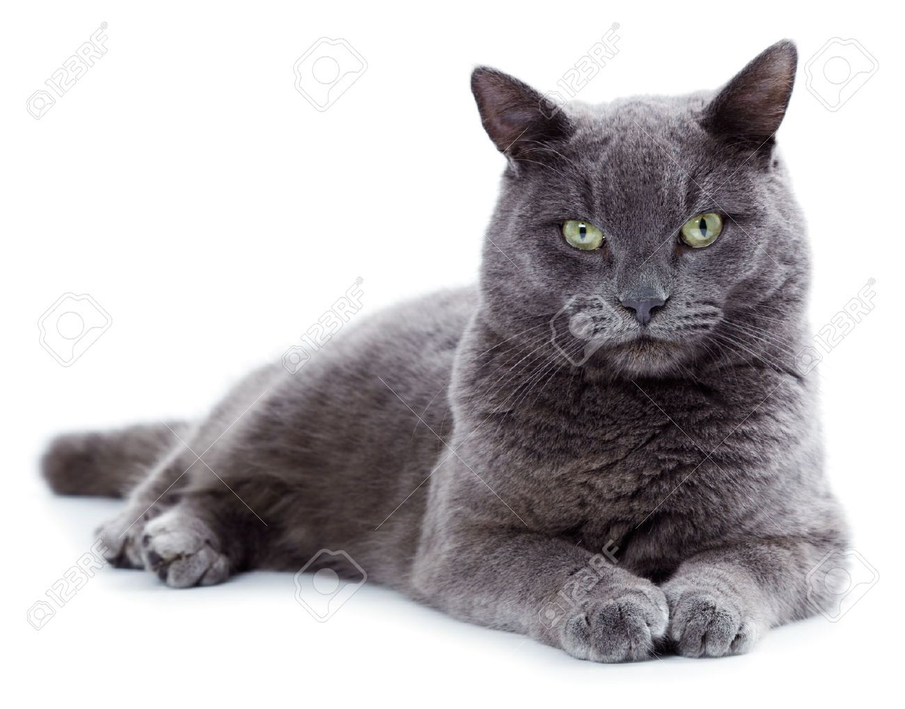 25274275 Green Eyed Maltese Cat Also Known As The British Blue On A White Background Stock Photo Jpg 1300 1019 Cat Breeds Korat Cat Cats That Dont Shed