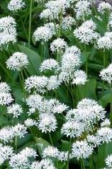 Wild garlic - another great perennial vegetable