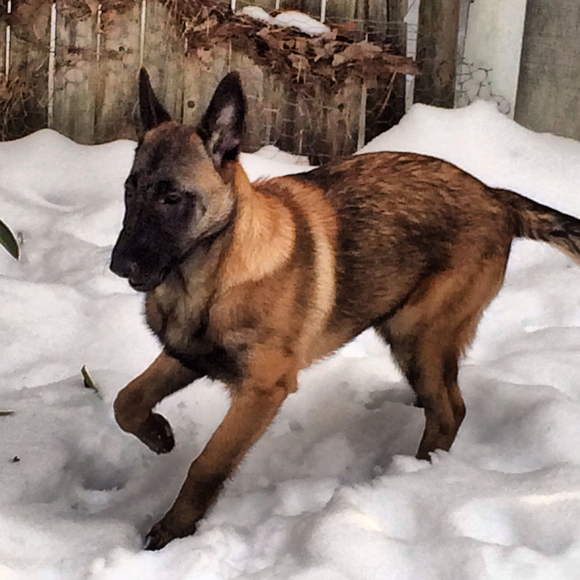 This is my 4 month old Belgian Malinois. Her name is Jewel