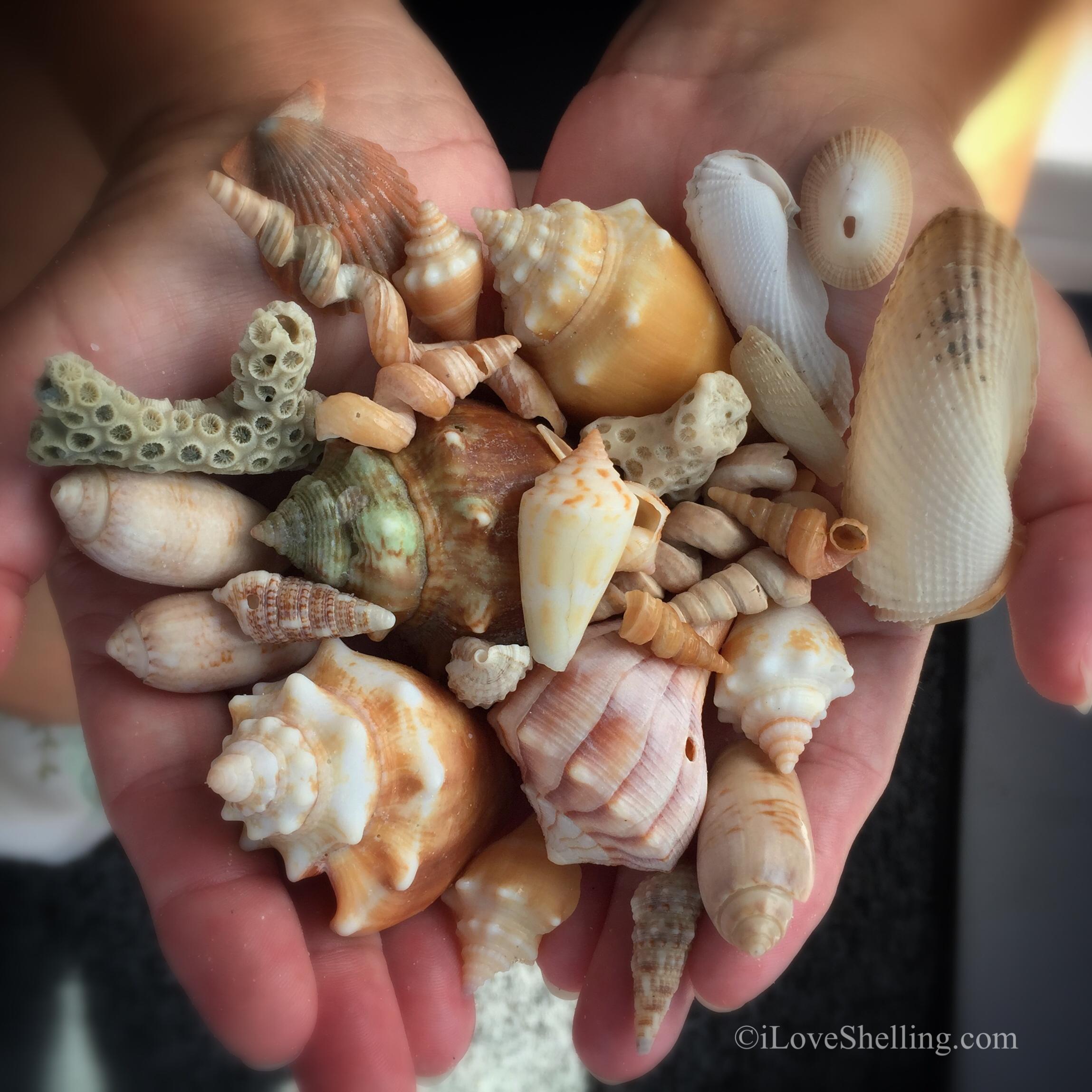 Shells of big hickory island bonita florida beach life florida shells of big hickory island bonita florida nvjuhfo Choice Image