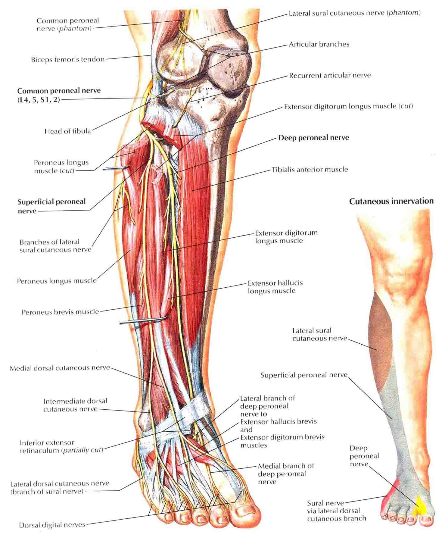 Common Peroneal Nerve | Nerve anatomy, Chronic pain and Crps