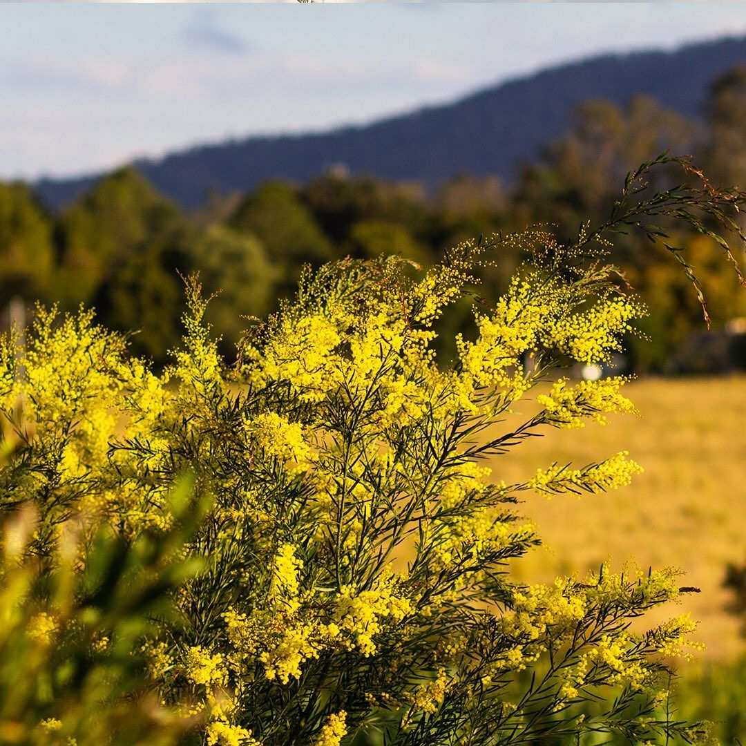 Today Is National Tree Day Our Golden Wattle Trees On The Farm Are Full Of Large Fluffy Yellow Sweet Smelli Tree Day Acacia Tree Sweet Smelling Flowers