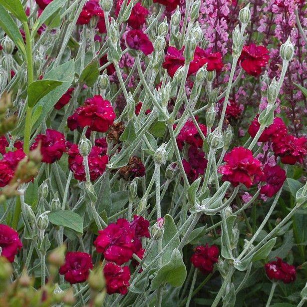 Coquelourde des jardins double lychnis coronaria - Coquelourde des jardins lychnis coronaria ...
