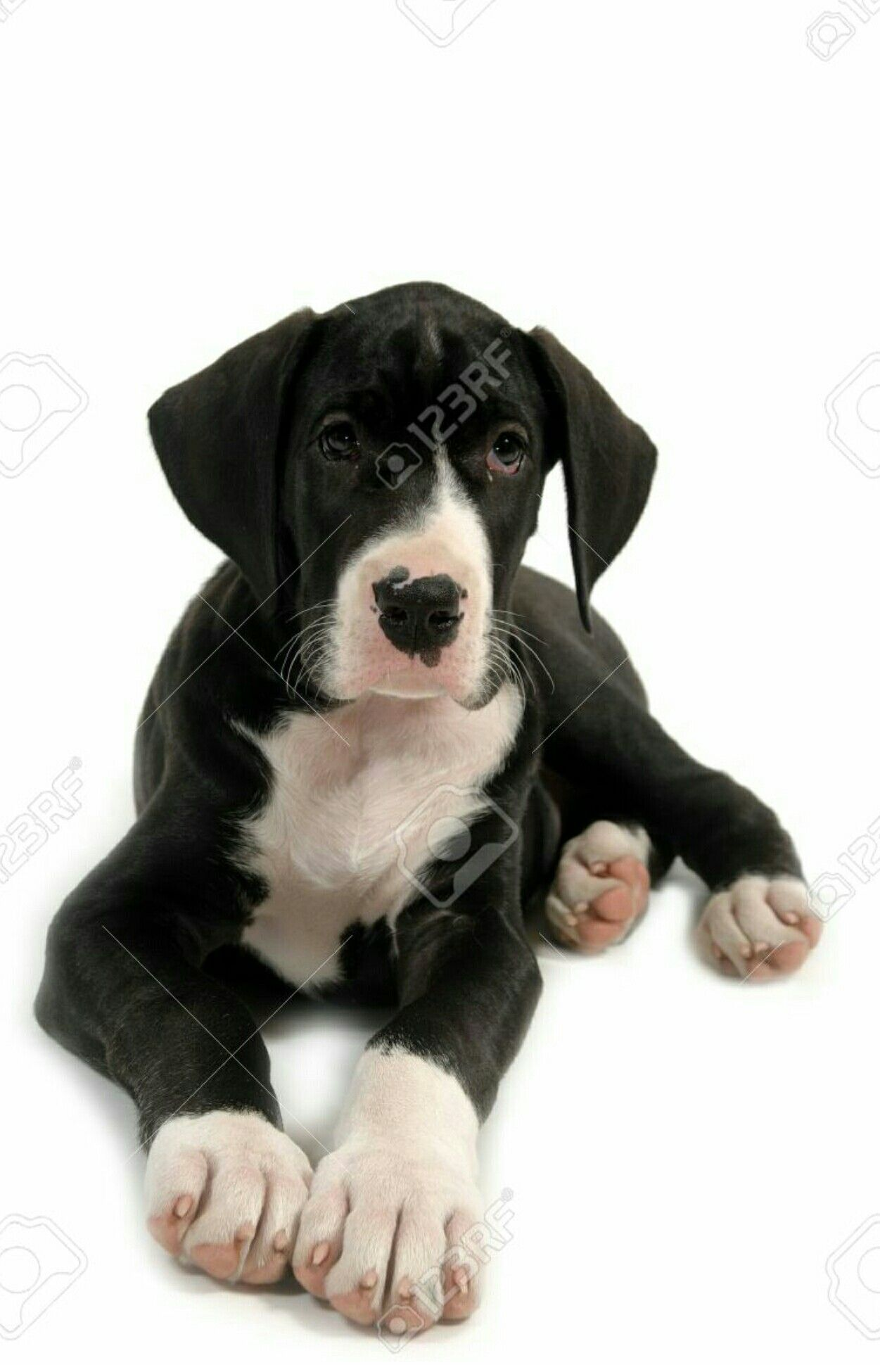Great Dane Puppy Great Dane Puppy Dane Puppies Puppy Pictures