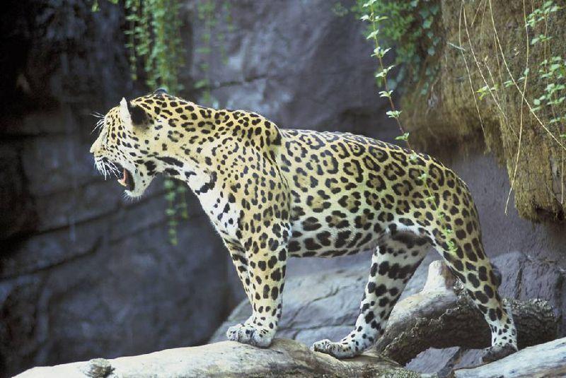 Jaguar Animal Jaguar Panthera Onca Gatos Selvagens