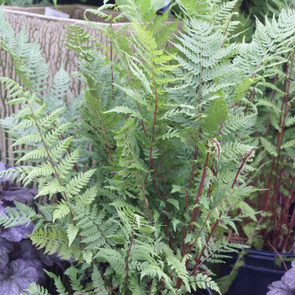 Lady in Red #Fern is strong-growing and dependable. Tough and easy to grow, this sultry beauty is the right choice for #perennial borders and woodlands alike! The lacy, light green foliage is held upright on dark, brilliant red-violet stripes. Whether used in borders or as a background, ferns can add texture and color to any #garden with their gracefulness and beautiful varying shades of green!
