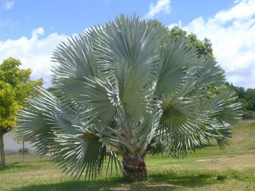 Tipos palmeras palmera bismarck palmeras tipos de for Jardines con palmeras