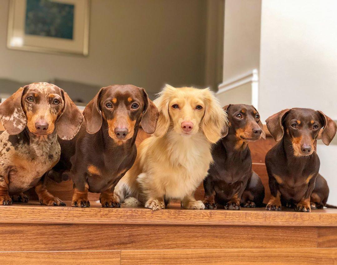 Dachshund Products Apparel And Gifts Dachshund Dachshund Dog