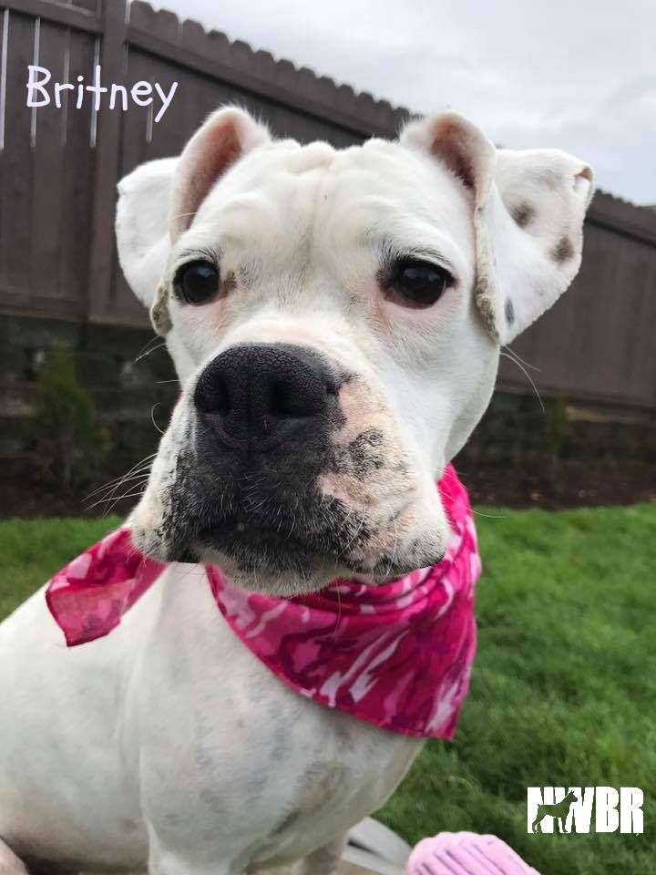 Boxer dog for Adoption in Woodinville, WA. ADN540641 on