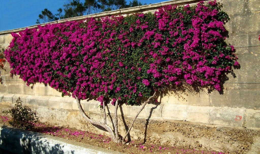 Tags Bougainvillea 2 Espalier 2 How To Become A Master Gardener 1 Napa Master