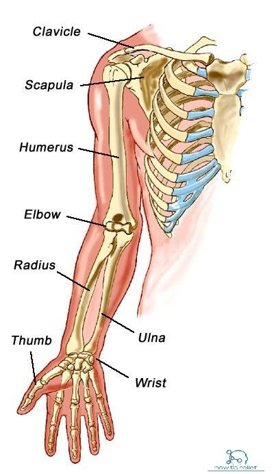 Upper Limb Bones Anatomy Muscle Attachment How To Relief Human Body Anatomy Body Anatomy Human Anatomy And Physiology