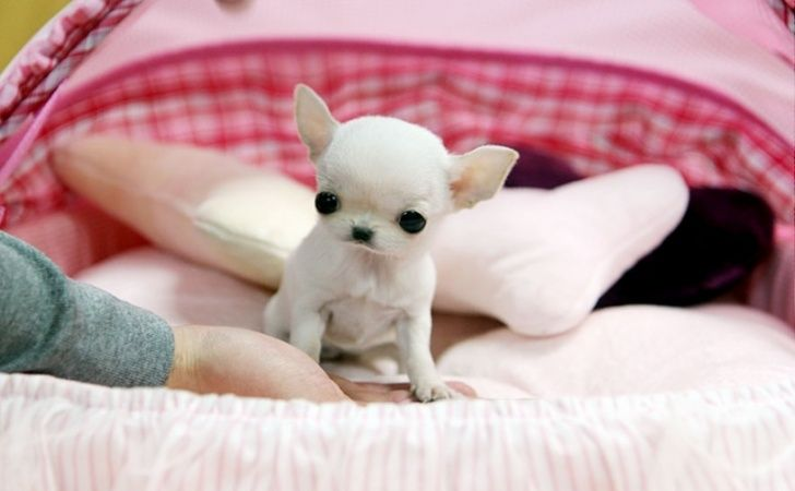 Chihuahua Newborn Puppies Little Puppies For Sale Teacup