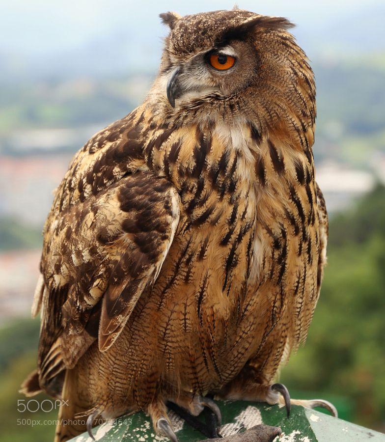 Owl by raffaelepassariello via http://ift.tt/2c0apt6