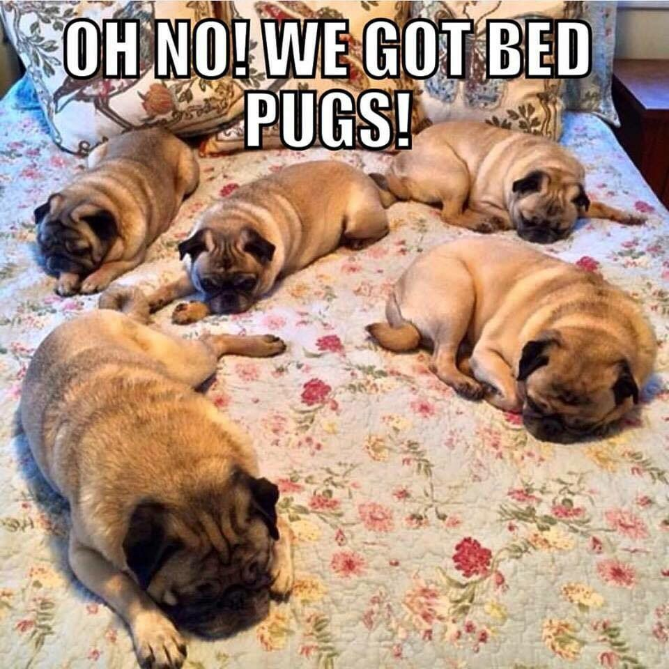 Oh No We Ve Got Bed Pugs Cute Pugs Pugs Funny Pug Memes