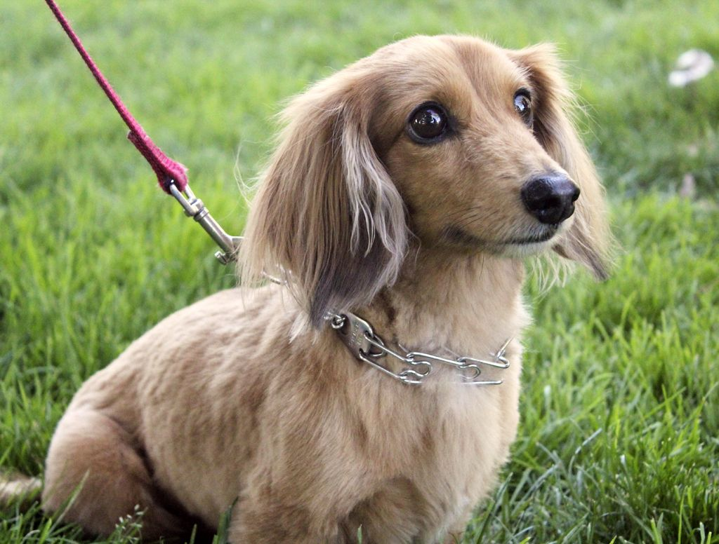 Small Dog Breeds Fluffy Dachshunds