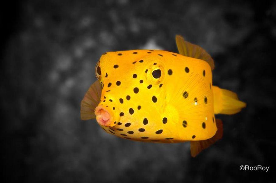 Pin On Saltwater Boxfish