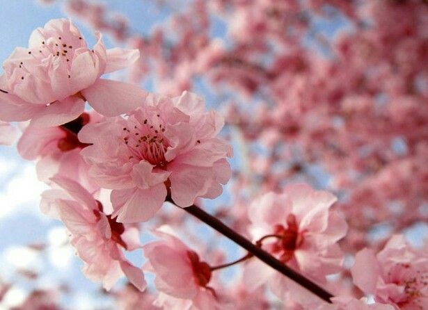 Cherry Blossom These Beautiful Flowers Represent Spirituality And Have Cultural Roots In The Cherry Blossom Japan Sakura Cherry Blossom Japanese Cherry Blossom