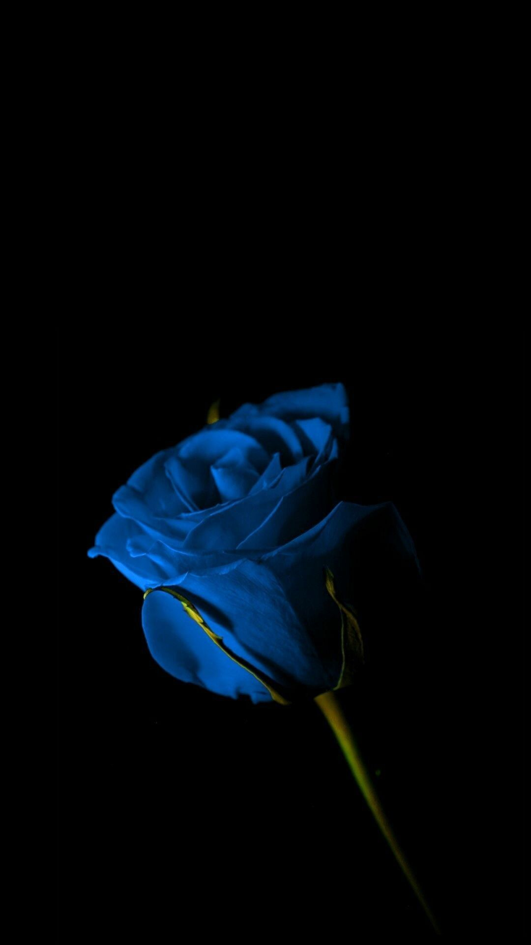 Blue Rose Blue Flower Wallpaper Blue Roses Wallpaper Rose Wallpaper