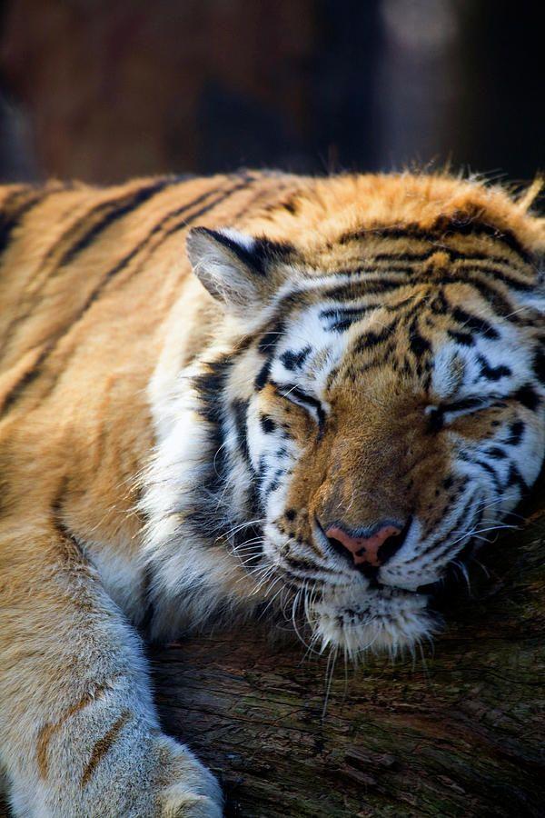 Tiger By Karol Livote Wilde Tiere Grosse Katzen Tiere Wild