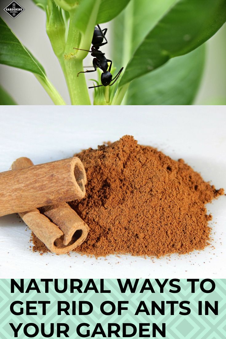 Ants are an Awful Problem in the Garden, But Just One Spice May Help Get Rid of them Forever is part of garden Tips Pots - Stop your ant problem before it starts! Here's how one household spice can ward off ants as effectively as insecticides (without the harmful chemicals)