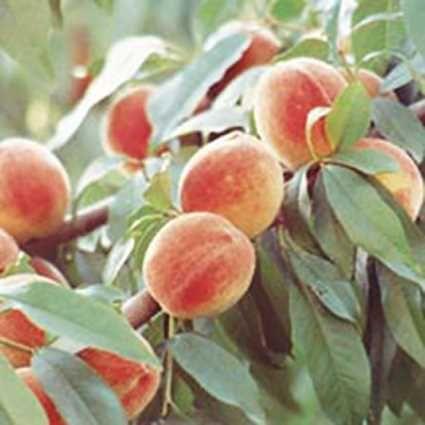 Madison Standard Peach