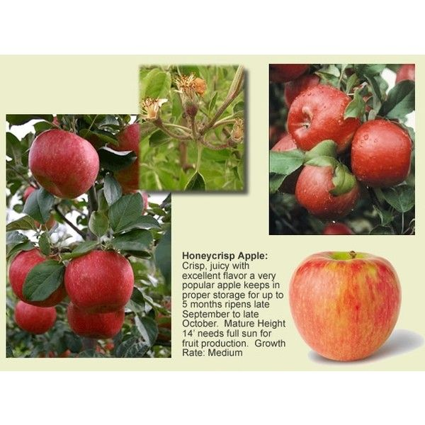 Honeycrisp Apple Tree Via Polyvore Honeycrisp Apples Honeycrisp Honeycrisp Apple Tree