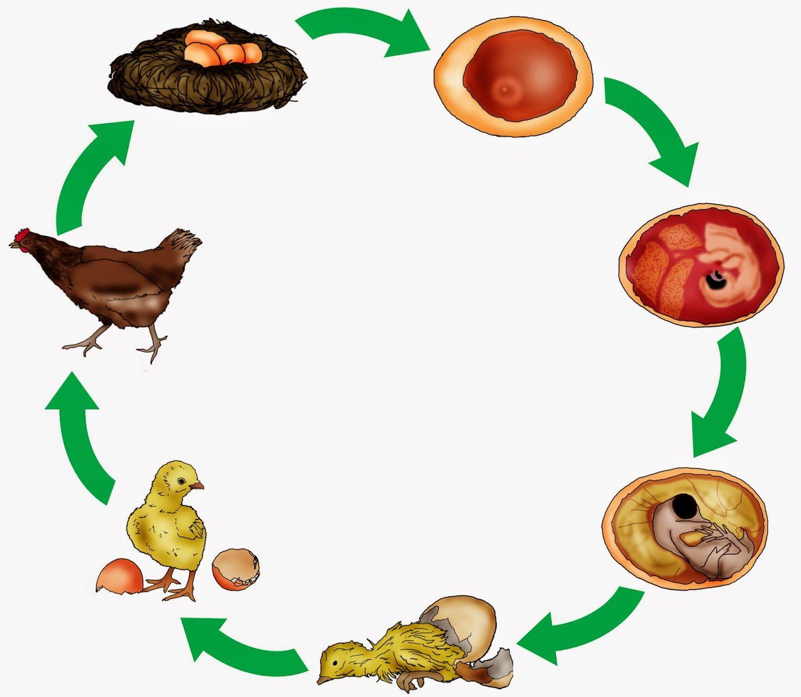 krabbelwiese: Huhn und Ei | Animal / Животные | Pinterest ...