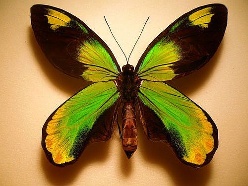 Ornithoptera Butterfly Collection  (Aetheoptera Victoriae Butterflies, Male, Guadalcanal)