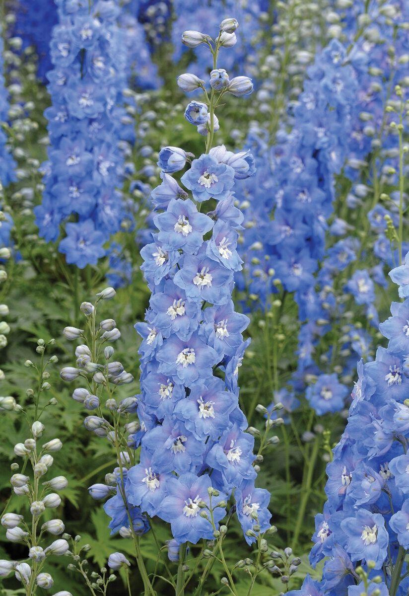 Delphinium Mf Sky Blue Grote Pot Ridderspoor Vaste Planten