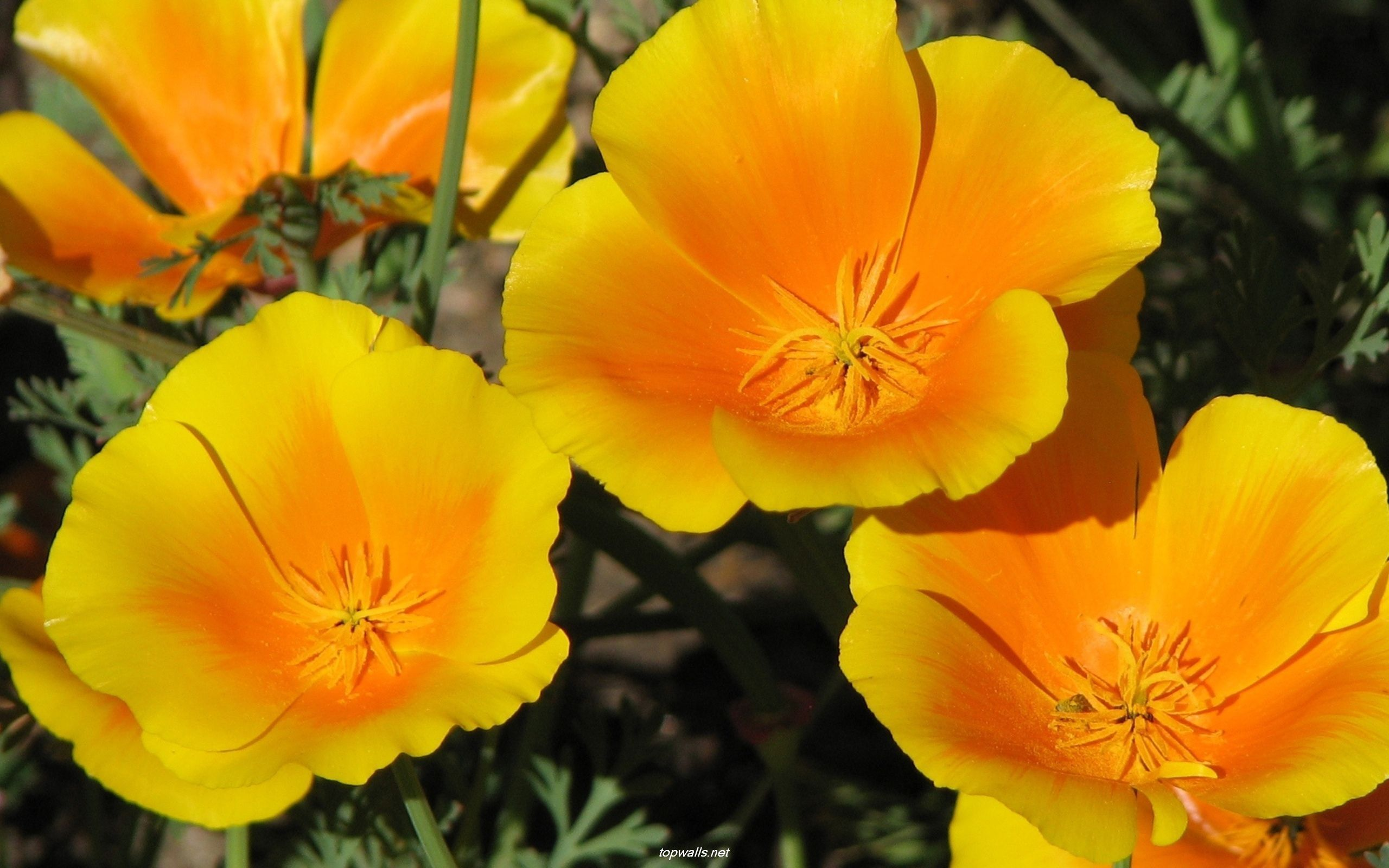 California Golden Poppy Flower Blending Washington State And New