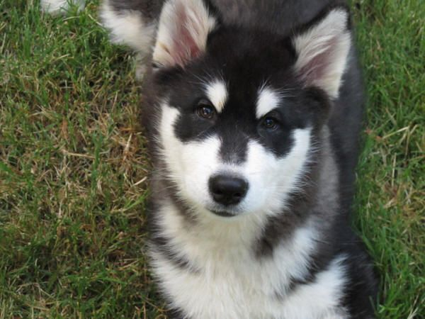 Free Alaskan Malamute Puppies Bing Images Alaskan Malamute