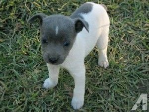 Rat Terrier Puppies Hattiesburg Ms Terrier Puppies Cute Baby