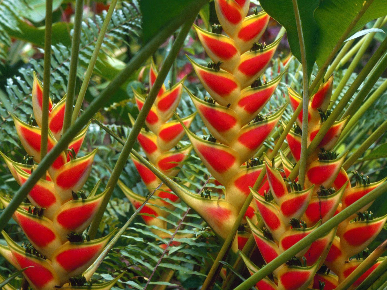 Heliconia La Planta Preferida En Jardines Tropicales Y: Heliconias, St. Lucia