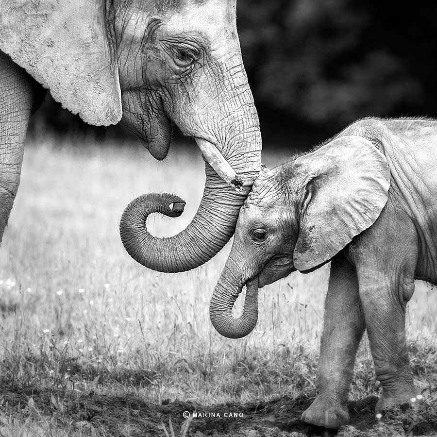 Elephant Mother /& Baby Black /& White Picture Animal Art Large Framed Print