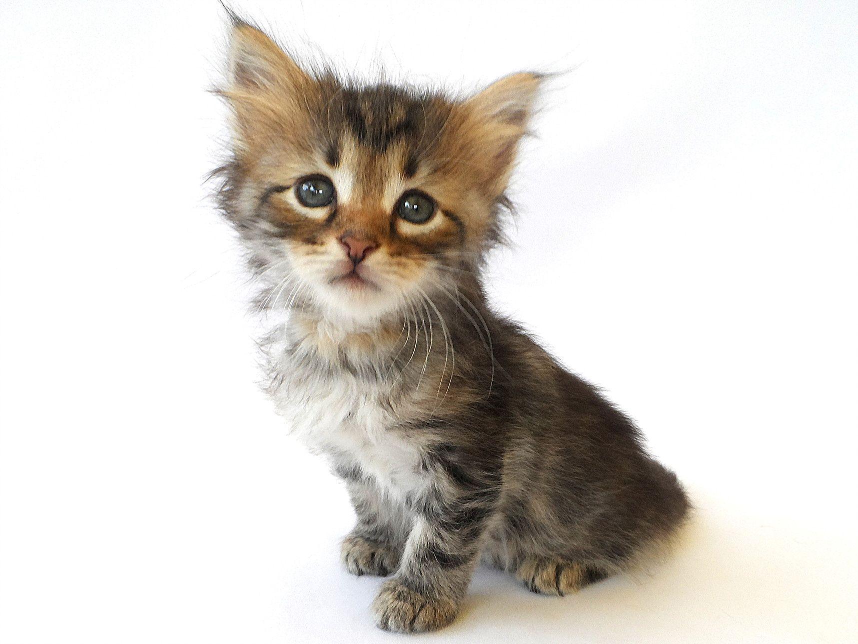 Hypoallergenic Cats Siberian Cat Breeders