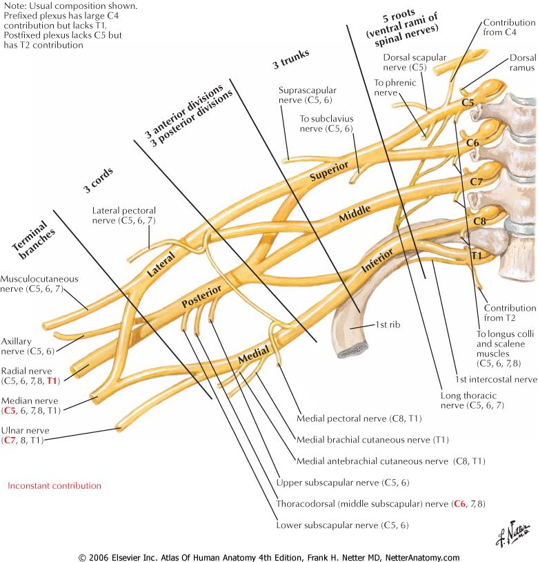 Brachial Plexus. So nice to have a quick, easy reference of this ...