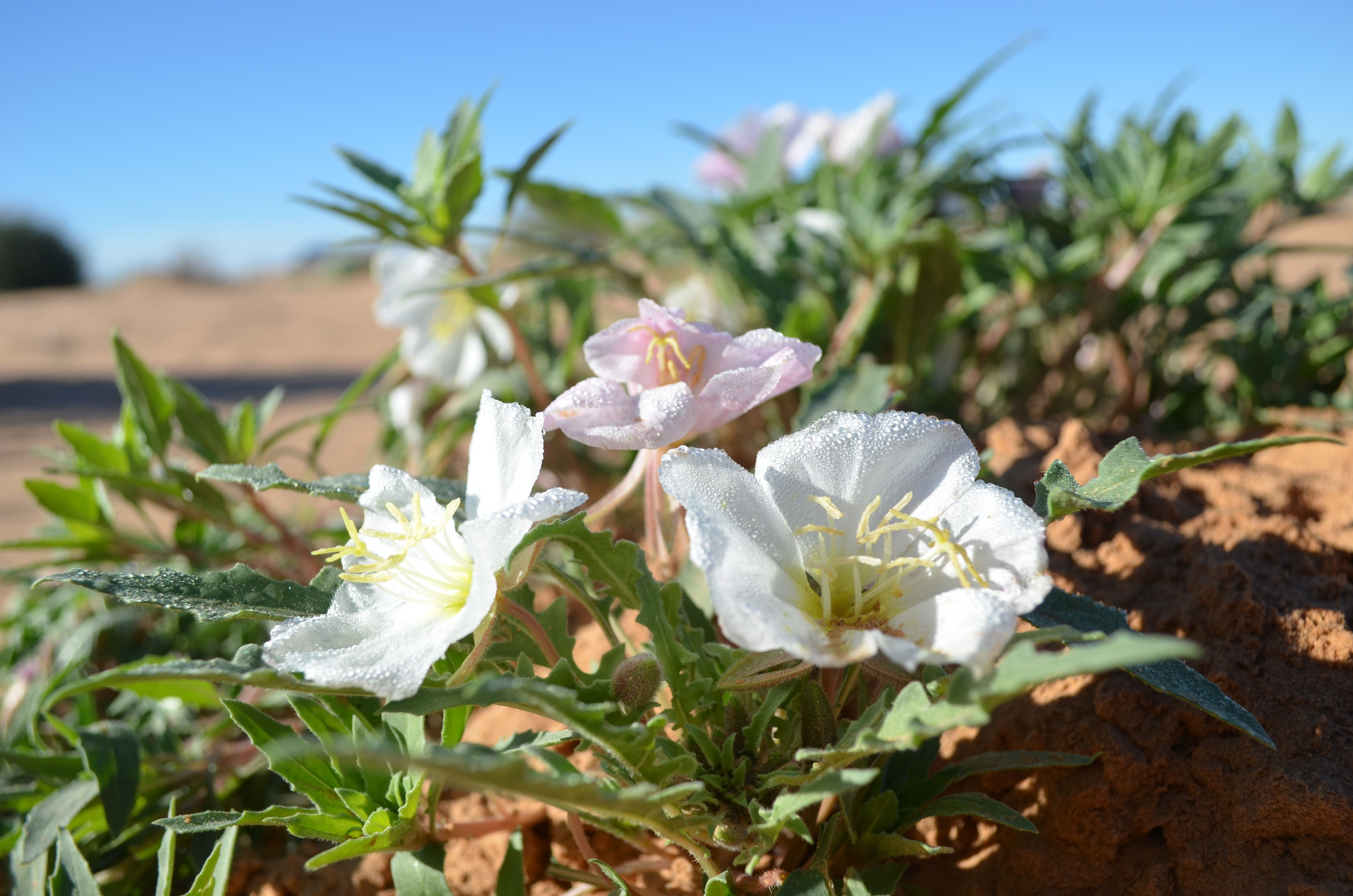 Desert Flower Names Desert flowers desert flowers