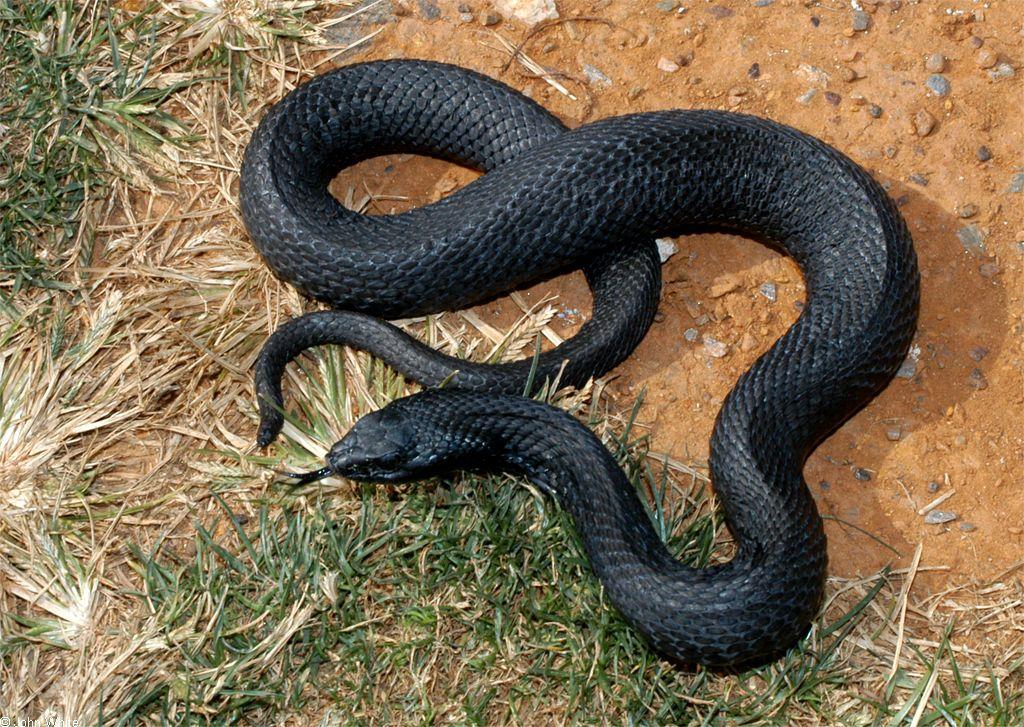 Calphotos Heterodon Platirhinos Melanistic Eastern Hognose Snake Melanistic Animals Melanistic Melanism