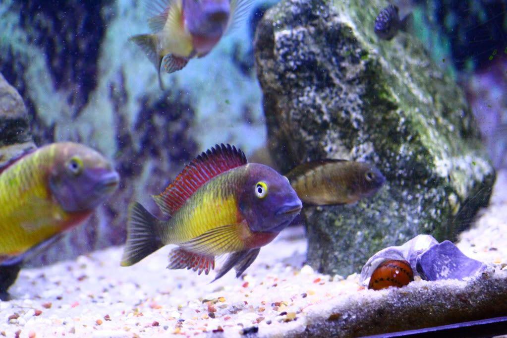 Tropheus Red Rainbow Aquarium Fish African Cichlids Cichlids
