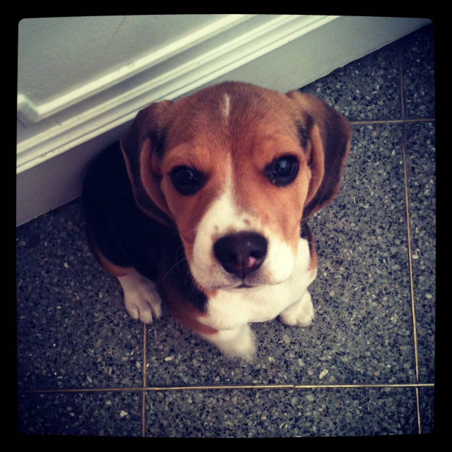 This Is My Gorgeous Beagle Puppy His Name Is Comezon In English