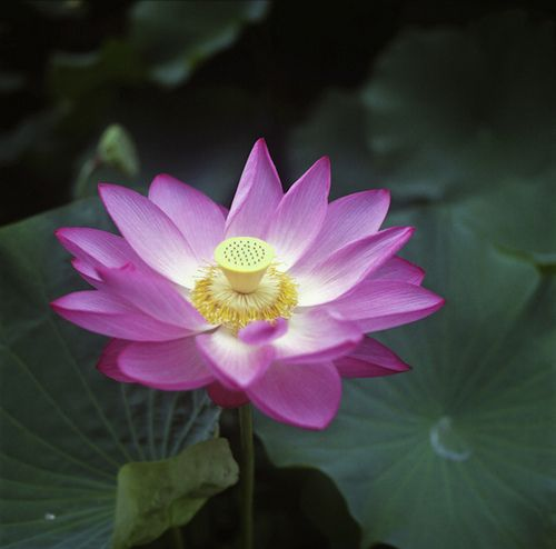 Lotus Flower>>>