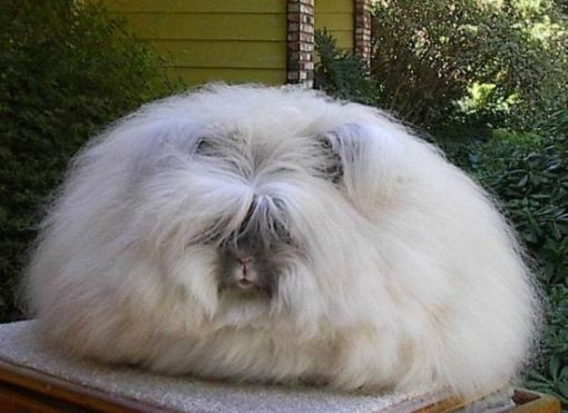 Guess what animal this is, its not a pekinese                                    Beautiful!!!    guess what this is???