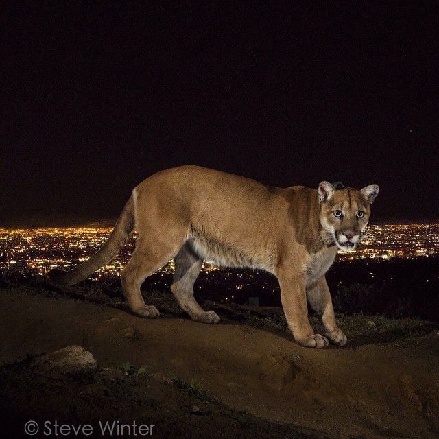 The Power of Photography! Photo by @stevewinterphoto. Time to turn the spotlight on America's Big Cat: Cougars, especially those living around #L.A., such as P-22 who I photographed for a @natgeo story on #Cougars, and who is now the Poster Boy for the recently launched ‪#‎SaveLaCougars‬ campaign.