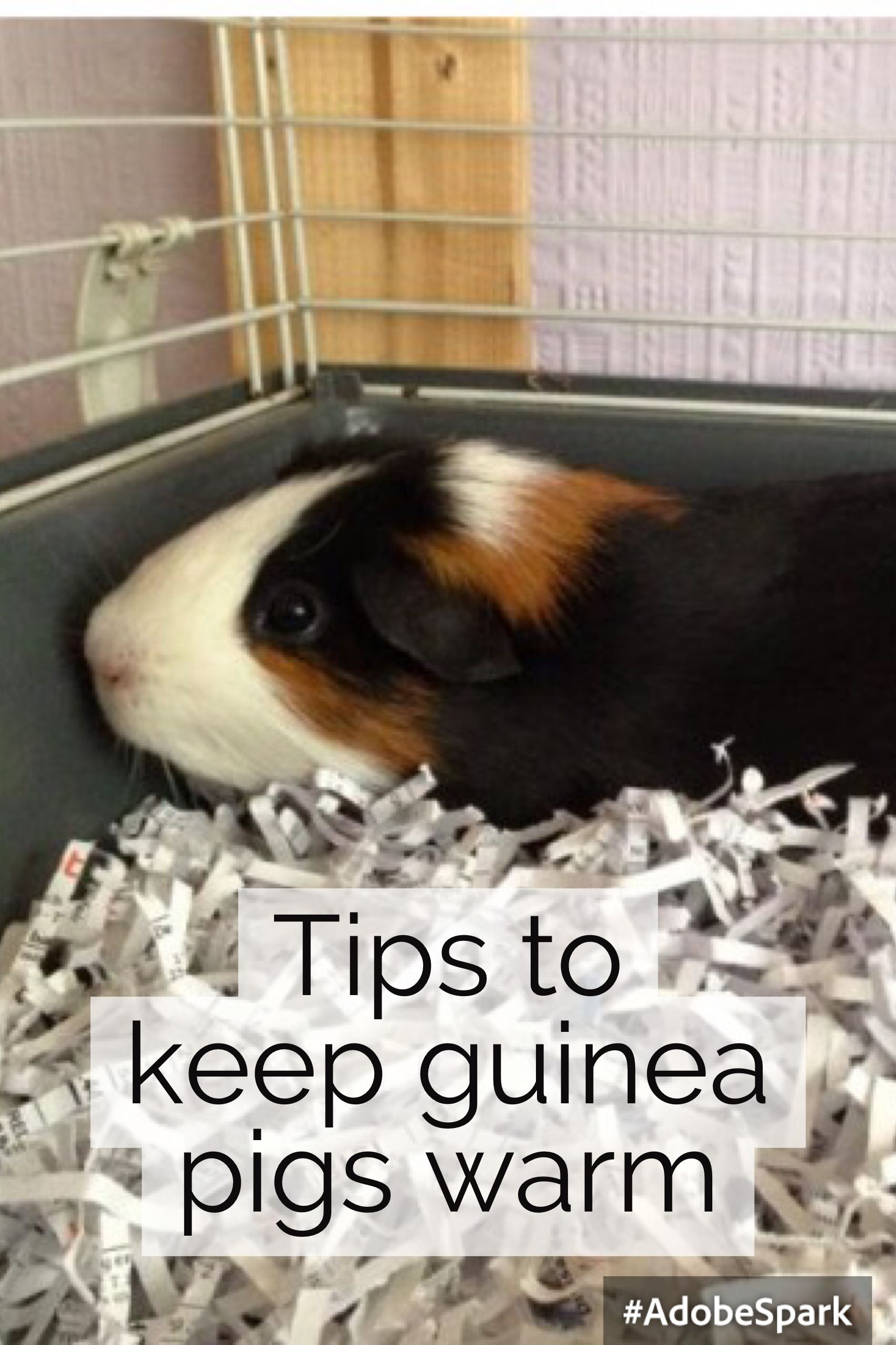 Tips to keep guinea pigs warm in winter guinea pigs