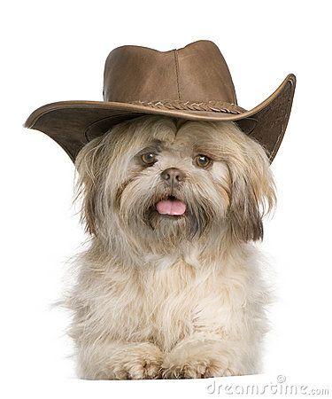 Cowboy Shih Tzu With Images Shih Tzu Dog Shih Tzu Shitzu Dogs