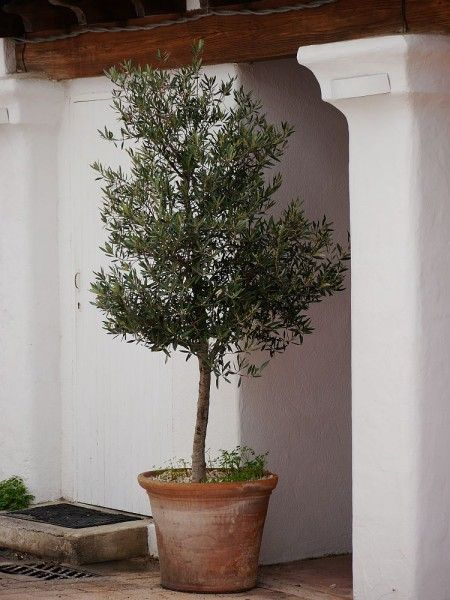 Meine Orangerie how to cut the olive tree find advice on meine orangerie de