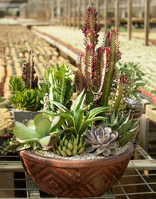 Make Beautiful Easy Care Container Gardens With Desert Escape Cacti And Succulents From Costafarms