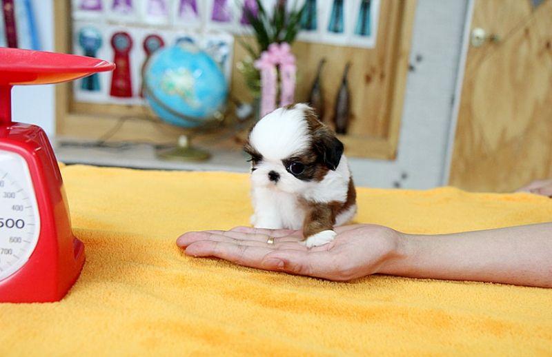 Micro Pocket Shih Tzu Micro Teacup Shih Tzu Adoption Amp Top