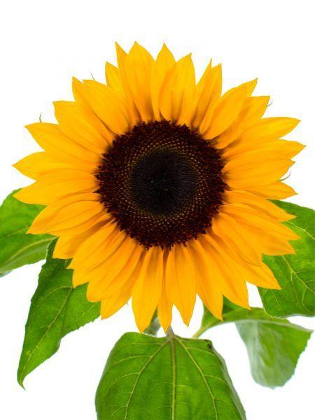 sonnenblumen sunrich orange blumen pinterest blumen sonnenblumen und orange. Black Bedroom Furniture Sets. Home Design Ideas