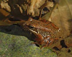 La rana patilarga (Rana iberica) es una pequeña rana roja, del grupo de Rana temporaria, que habita el norte de Portugal, Galicia, la cordil...